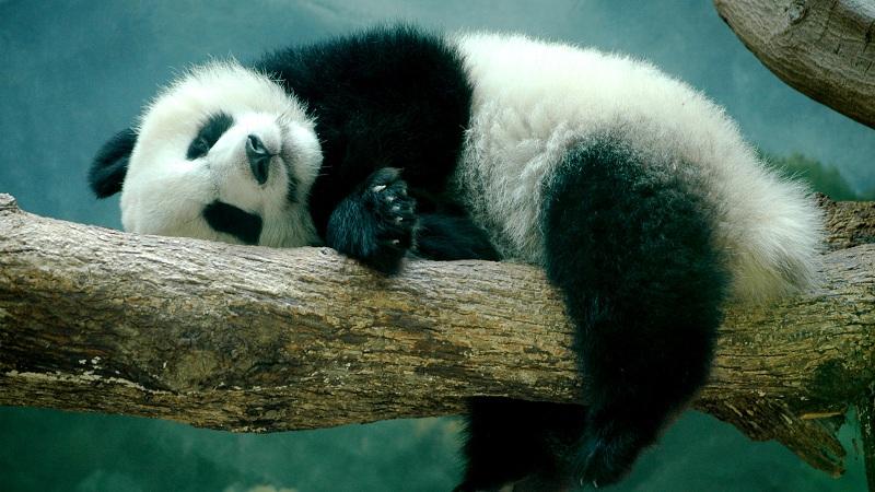 Des pandas nazis et l'homme au sac Tati